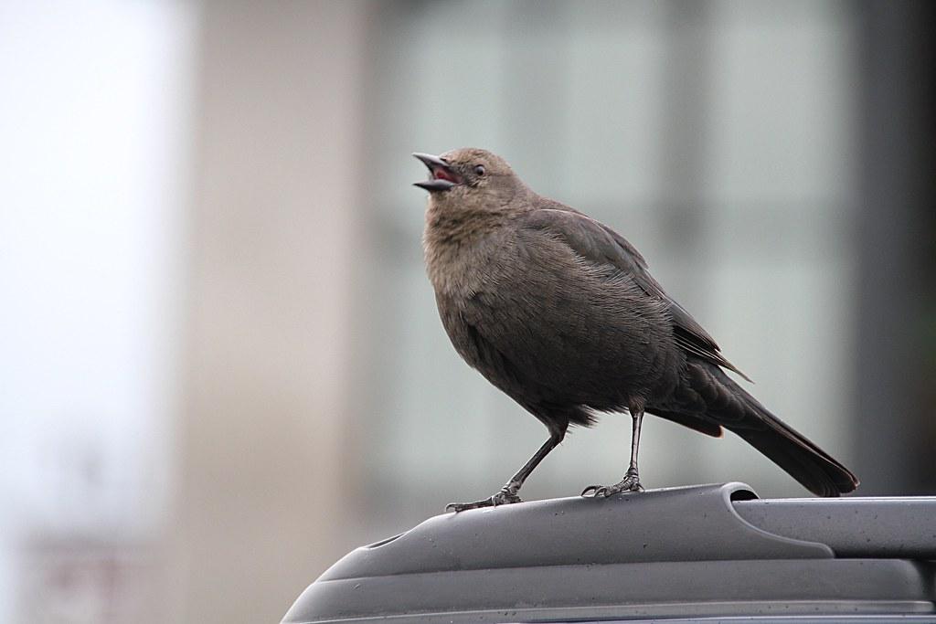 Bird on pedestal, with beak open in mid-call