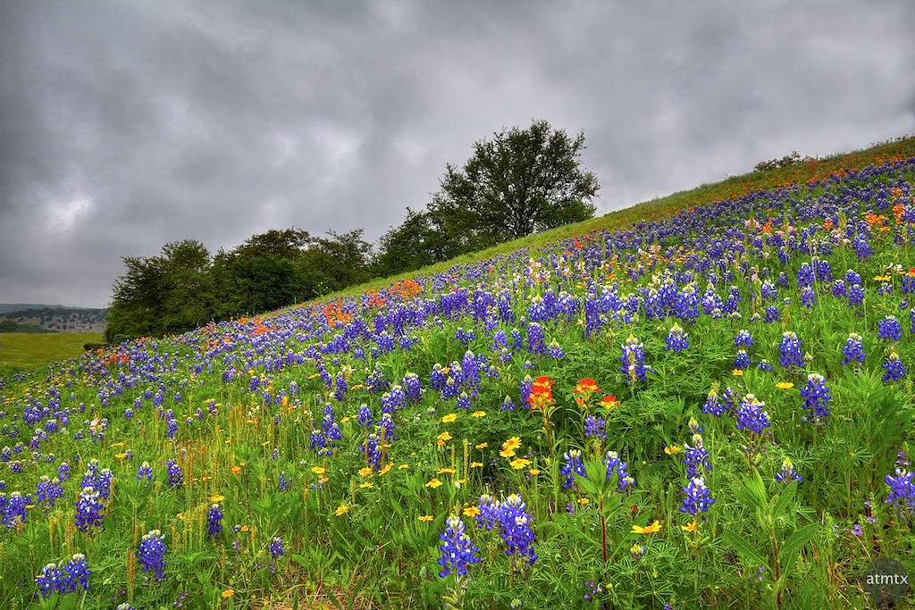 Green hillside with bluebonnets and other Texas wildflowers